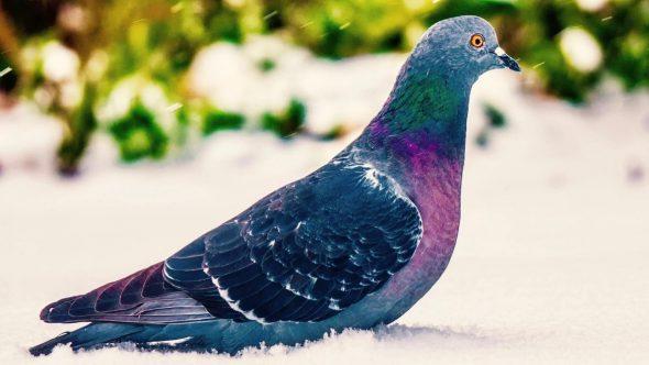 Cresterea sanatoasa a porumbeilor – despre sustinerea sistemului lor imunitar